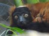 Red Ruffed Lemur (bookworm1225) Tags: march minnesotazoo 2011 tropicstrail