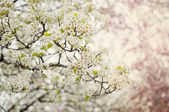 Spring Blossoms (JMS2) Tags: trees flower nature season spring pretty bokeh branches blossoms