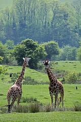 Port Lympne staff hail the success of the new giraffe mirror (Daves Portfolio) Tags: animals mirror kent image african safari giraffe safaripark wildanimals portlympne wildlifeexperience aspinall