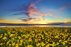 Spring Finale (DM Weber) Tags: california sunset flash wildflowers nationalmonument carrizoplains fillflash sodalake monolopia eos5dmkii psa148 dmweber