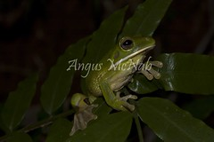"""White-lipped Tree Frog (Litoria infrafrenata) (Gus McNab) Tags: frog frogs amphibian amphibians hylidae hylids herp herps herpetology hylid white lipped tree litoria infranfrenata amphibia herpetofauna australia """"australian frogs"""" frog"""" amphibians"""" amphibian"""" treefrog """"tree wildlife """"wildlife photography"""" fauna"""