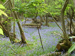 """Bluebells amongst Coppice • <a style=""""font-size:0.8em;"""" href=""""http://www.flickr.com/photos/61957374@N08/5679677536/"""" target=""""_blank"""">View on Flickr</a>"""