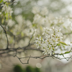 smile, breathe, and go slowly (jamie {74}) Tags: white blur tree green 35mm spring nikon raw branch blossom bokeh nikkor f18 d7000 blartsy