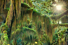 rainforest lightshow... (Mac Danzig Photography) Tags: trees green rain forest landscape washington moss woods hoh tnc11
