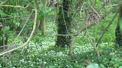 Ramsons - by London Permaculture