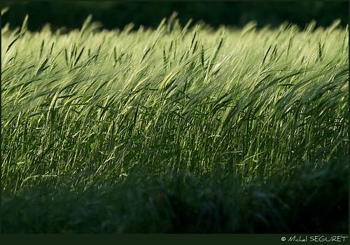 Un horizon d'épis / Wheat horizon