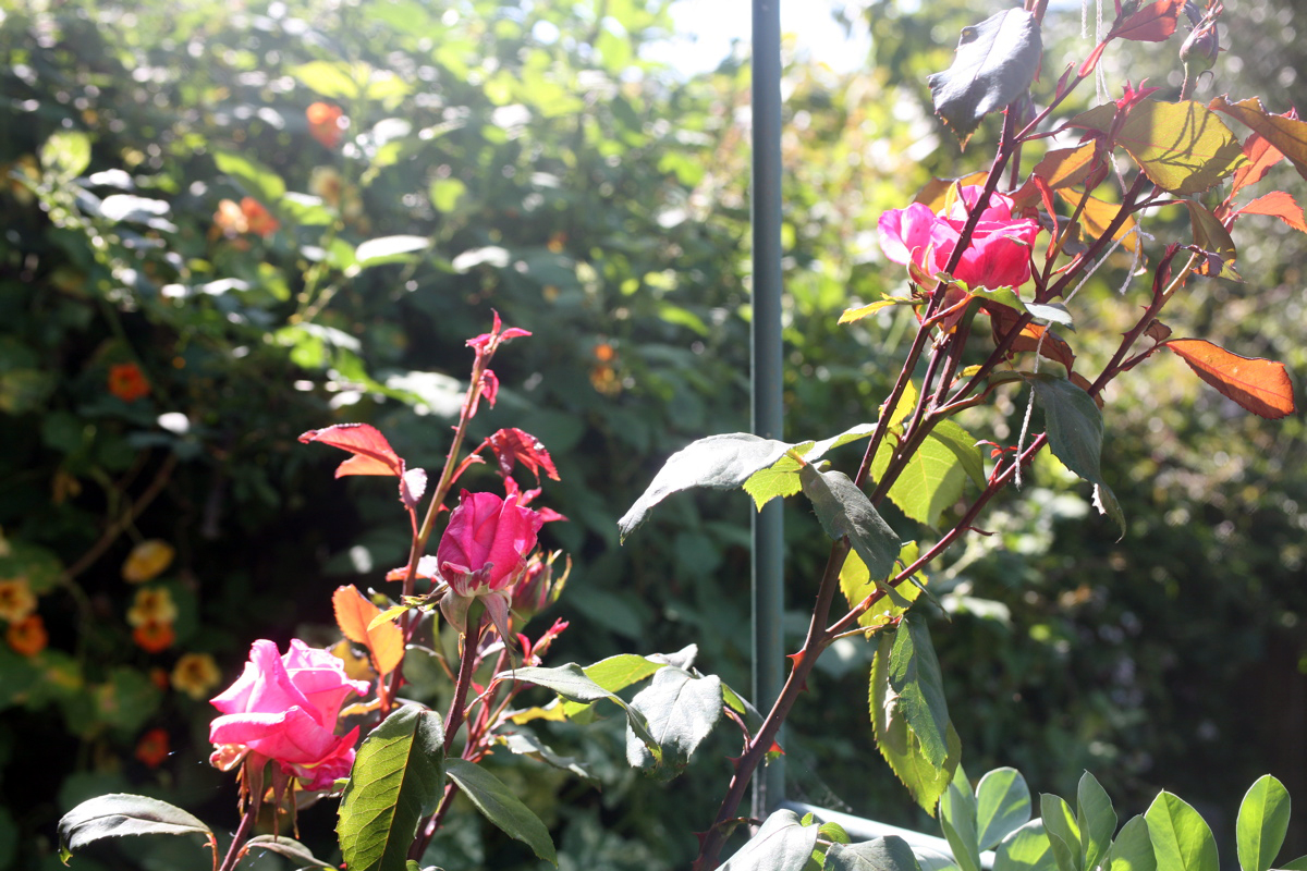'aromatherapy' rose