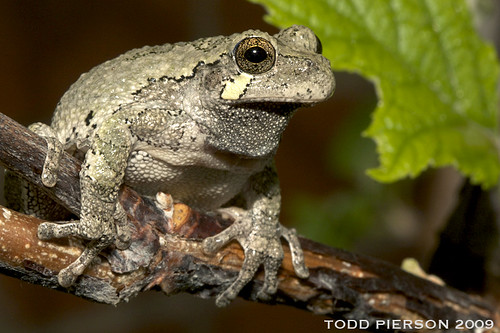 Hyla versicolor: Eastern Gray Treefrog by Todd W Pierson, on Flickr