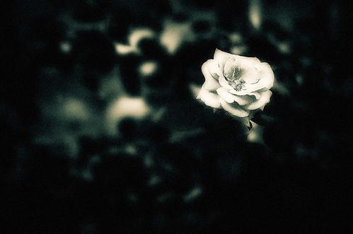 フリー写真素材, 花・植物, 薔薇・バラ, モノクロ写真,
