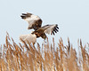 Whats in there (Andrew Haynes Wildlife Images) Tags: nature wildlife norfolk nwt marshharrier canon7d ajh2008 claymarsh