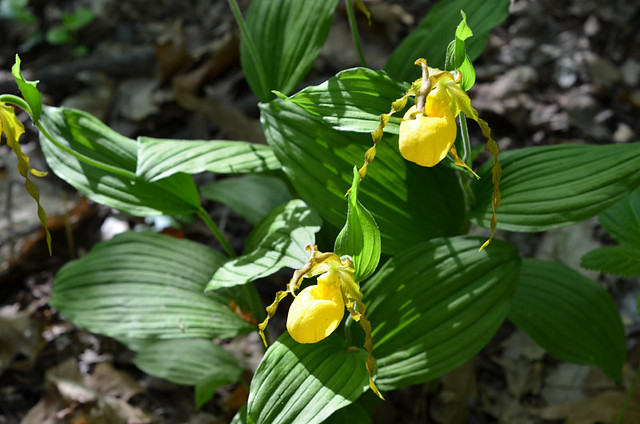 ladyslippers