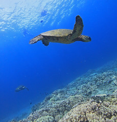 turtles (bluewavechris) Tags: ocean life blue sea brown green nature water animal coral swim hawaii marine underwater snorkel turtle reptile wildlife dive shell maui endangered reef creature flipper