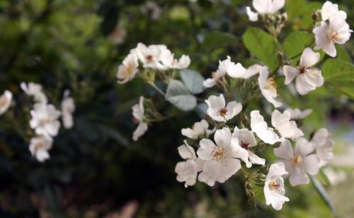 117/365 - Multiflora Rose