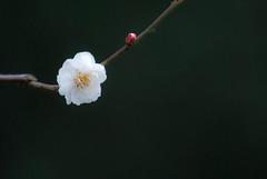 DSC_9054-Edit (Alex Rowan) Tags: castle japan kyoto blossoms plum nijo plumblossoms nijojo nijocastle 2011