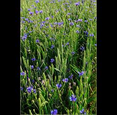 Cornflowers in wheat ... (piautel) Tags: 1224 d300