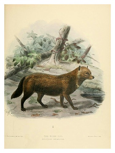 012-Perro de monte-Dogs jackals wolves and foxes…1890- J.G. Kulemans