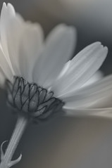 Dog daisy 2 (deejays123) Tags: flowers daisies mono nikon oxeyedaisy leucanthemumvulgare dogdaisy sigma105mm