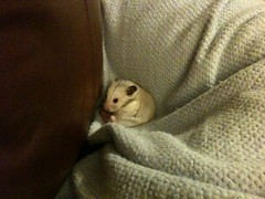 Smokey sitting in the corner of the couch (locomom) Tags: pet cute hamster syrian