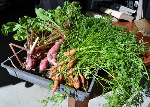 The Harvest - Radishes and Baby Carrots