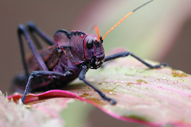 purple grasshopper