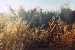 [2] (_anke_) Tags: autumn light sun fall film analog 35mm evening weeds weed dof bokeh scan zenit analogue russian 2010 grser russiancamera zenitet straightoutofthecamera filmisnotdead sooc  filmsnotdead  et filmlebt ankeschroeder ankeschrder ilove ilovezenit rocks