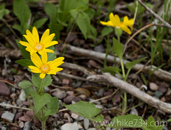 "Heartleaf Arnica • <a style=""font-size:0.8em;"" href=""http://www.flickr.com/photos/63501323@N07/5884451435/"" target=""_blank"">View on Flickr</a>"