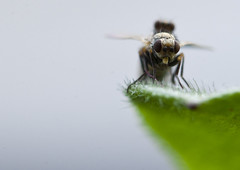 Sexo en el campo 01 (Alan Schaeffer) Tags: macro sex canon eos 100mm sexo flies moscas 400d