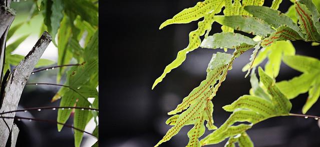 rainy fern diptych