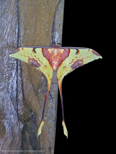 moon moth luna moth R0012388 copy