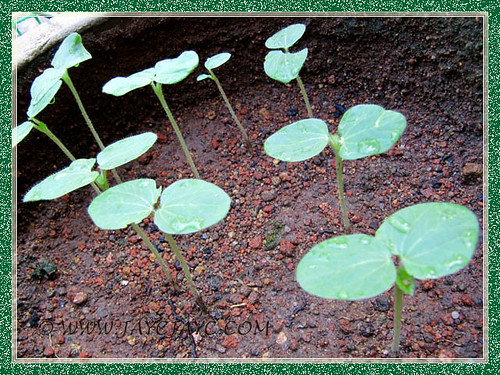 5-day old seedlings of Abelmoschus esculentus (Okra, Lady's Fingers, Gumbo)