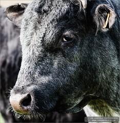 In the moo-d (Ian Garfield) Tags: portrait white black field silver ian photography mono cow moody photographer cows farm year lakes bull moo software pro nik horn amateur livestock garfield lichfield 2014 alrewas efex apoy croxall