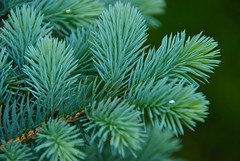 Blue Textures in the garden! (ineedathis, the older I get, the more fun I have!) Tags: tree nature garden spring evergreen needles nikond80 ornamentaltree bluecoloradospruce piceapungensglobosa dwarfglobebluespruce