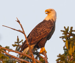 Bald Eagle watches sunset first day of fall Canon 5DSR (Mike Black photography) Tags: bald eagle bird nature big year birding watching ebird cornell nj new jersey shore shark river belmar mike black canon 5dsr body 600mm f40 l lens is usm first day fall