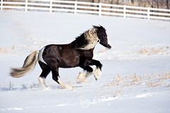 shelleypaulson_2009-186-1 (Shelley Paulson) Tags: equine gallop gypsyvanner horse minnesota snow winter