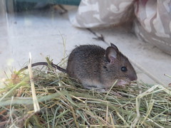 Mus musculus (dhobern) Tags: mammalia rodentia muridae mus musculus sborg denmark europe october 2016