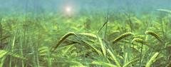 While soft winds shook the barley... - HSS! (a.sekkas) Tags: nikkor50mm118g asekkas nikkor d5300 nikon 50mm barley gerste grainfield getreidefeld nikonflickraward