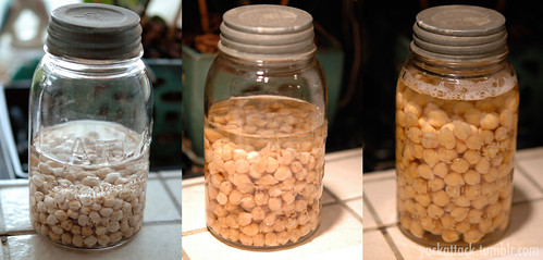 Sprouting Chickpeas