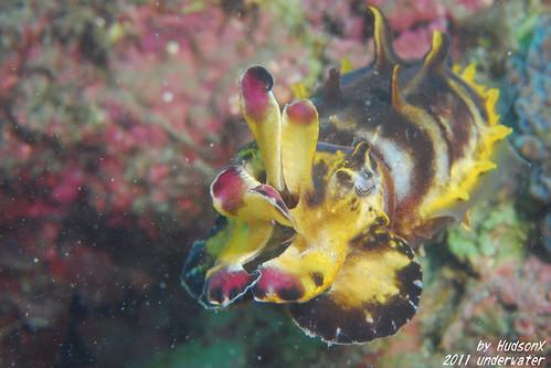 火焰花枝 - Flamboyant Cuttlefish(3)