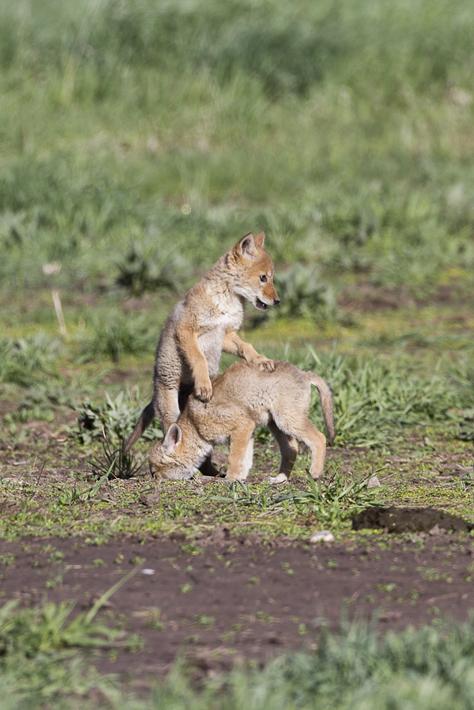 061311_coyote05