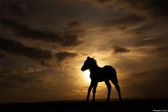 Shadow World (skarpi - www.skarpi.is) Tags: world life sunset shadow sky horse sun sunshine silhouette night sunrise dark born mood moody shadows darkness dream pony newborn colt foal skuggi hestar hestur darkmood shadowworld folald skuggamynd