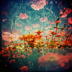 Floating (Fabienne Lin) Tags: life flowers 120 6x6 film holga lomo lomography flora doubleexposure vivid alive rvp holgagraphy holga120gcnf