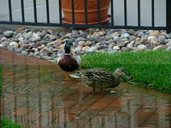 Ducks in Long Branch (Free Of The Demon) Tags: usa beautiful birds america wow nj ducks shore jersey anthony picturesque longbranch smrgsbord bej ysplix beautyunnoticed onewordwow gr8photo freeofthedemon edcarbo me2youphotographylevel1