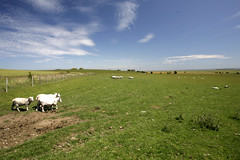 SHEPPEY SHEEP (Adam Swaine) Tags: county blue england sky green english beautiful rural canon landscape countryside kent flora sheep britain east 24mm counties isleofsheppey naturelovers 2011 northkent thisphotorocks adamswaine mostbeautifulpicturesmbppictures wwwadamswainecouk