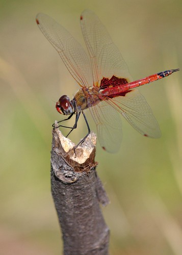 Red Dragonfly - Broome Bird Observatory - Kimberley, Western Australia