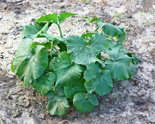 Zuchinni Plant