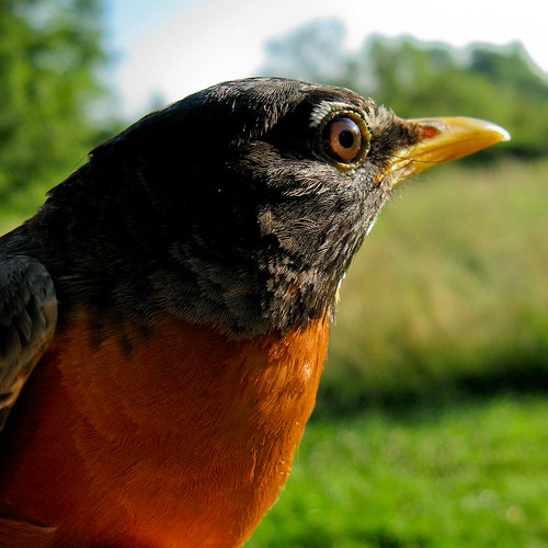 Handsome male American Robin