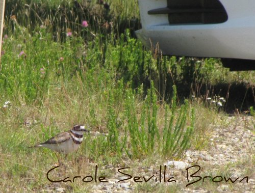 Killdeer on Nest in Parking Lot
