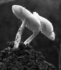 Guests of the rains (asis k. chatt) Tags: bw nature mushroom blackwhite firsttheearth naturewatcher