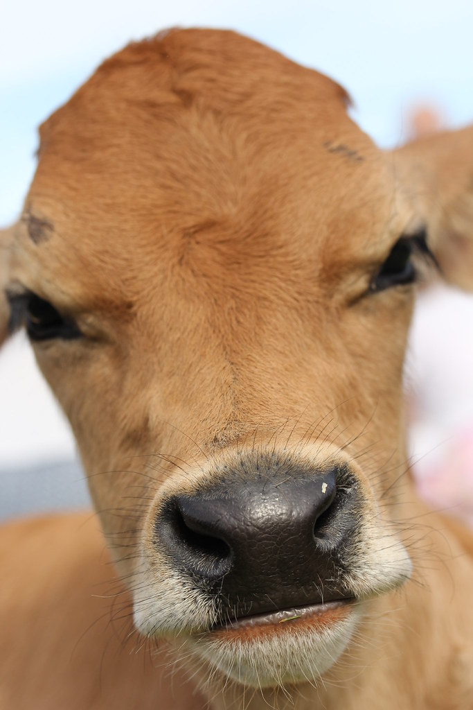 The Worlds Newest Photos Of Calf And Eyelashes Flickr Hive Mind