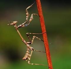 Louva-a-deus / Cone-head Mantis (anacm.silva) Tags: wild portugal nature bug insect nikon wildlife natureza bugs insecto vidaselvagem pontedelima louvaadeus estorãos empusapennata anasilva nikond40x coneheadmantis